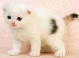 苏格兰折耳猫眼睛的颜色介绍