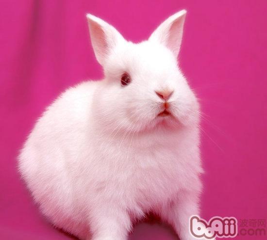 回家后发现兔子的眼睛突然变得红肿,不知道怎么办,更不知道怎么治疗。请来了有经验的兽医,在一阵忙活之后,兔子的情绪变得安静了,兔子眼睛的红肿症状也稍微有些缓解了。那么到底是怎么治疗的呢?   当然是要分析导致兔子眼睛红肿的主要原因拉。首先观察兔子的眼睛外圈的毛有没有也脱落红肿?眼眶上有没有细小的结痂或者皮屑?如果有这两个情况的话,除了结膜炎还有可能有螨虫,然后在按照以下的方法进行治疗吧。   第一,坚持每天使用生理盐水,也叫氯化钠溶液,给兔子洗眼,先充分翻开兔兔的上眼皮,按住兔兔的上眼皮向后拉,即可充