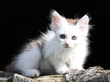 猫吃猫砂会有什么危害