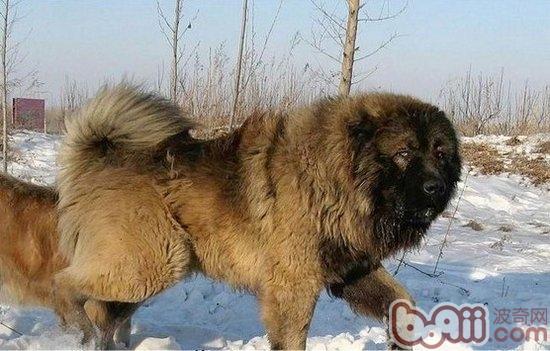 高加索犬; 高加索犬与藏獒; 藏獒被高加索犬咬死