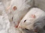 仓鼠的怀孕期一般有多长
