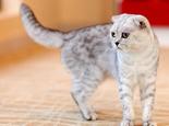 折耳猫骨骼方面遗传病及表现症状