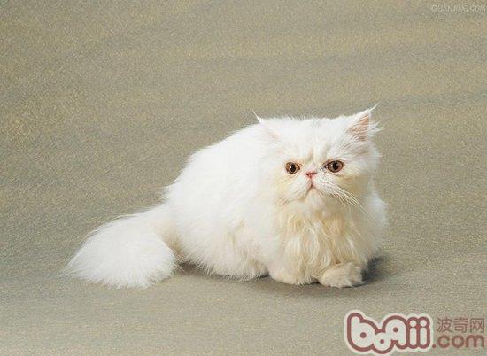 波斯猫(详情介绍)   波斯猫是深受人们喜爱和赞赏的宠物猫品种,它外形优雅美丽,让人在看过第一眼后就无法在将其忘记。波斯猫是哺乳型的胎生动物,波斯猫的繁殖期和人类一样,需要进行精心的呵护与管理。正确的饲养也是保证波斯猫和胎猫健康的关键。   波斯猫的正常怀孕周期是在63-67天左右。在波斯猫怀孕初期,饲养者并不需要给与特别的饮食管理,但是必要的行为管理就非常的重要了,饲养者应该限制波斯猫大幅度的运动和奔跑,避免波斯猫由于撞击和过激的运动而导致流产。   随着猫咪怀孕期的延长,腹中胎猫逐渐的长大,波斯猫的
