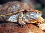 夏季龟龟晒背的注意事项