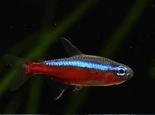 关于宝莲灯鱼品种的资料