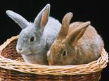 春天养兔子要注意哪些疾病