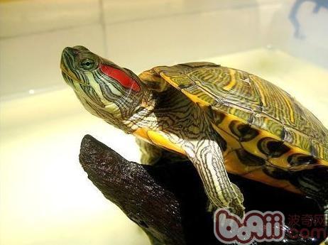 巴西龟有三种冬眠方式可选择