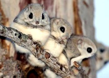 日本小鼯鼠是非常可爱的小动物,又被称为日本小飞鼠,虾夷小飞鼠