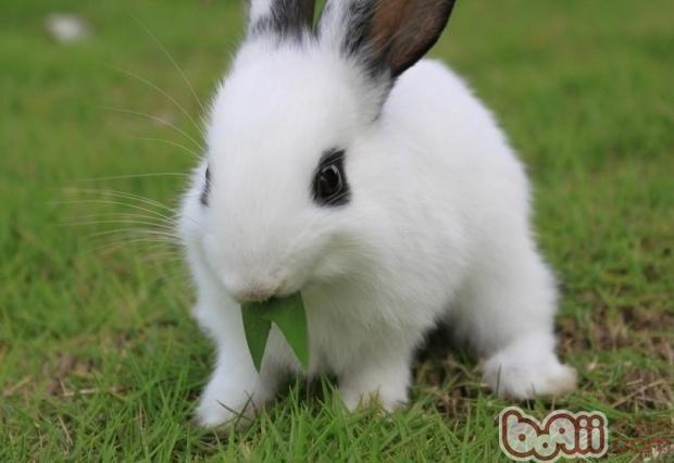 不要怕饲料硬,没关系的,兔子的牙齿可以消化它,如果现在你的兔子牙齿