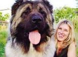 高加索犬孕期护理知识