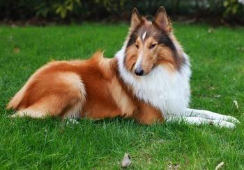 如何挑选纯种苏格兰牧羊犬
