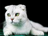 苏格兰折耳猫繁殖遗传病因