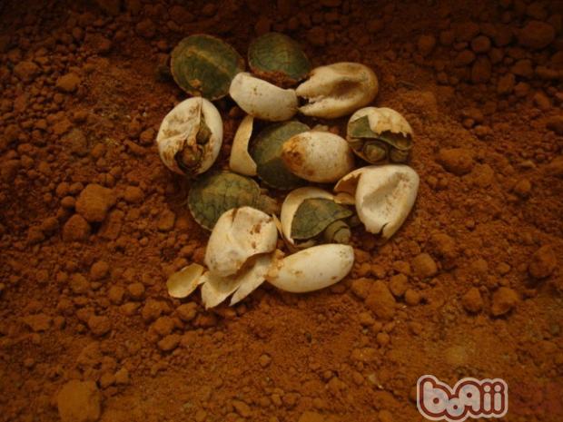 知识 孵化 专业 宠物/一、龟卵的收集