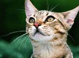 猫咪治疗口炎的偏方