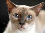 选购纯正暹罗猫的四个办法