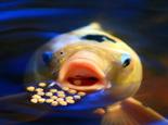 锦鲤疾病综合防治技术