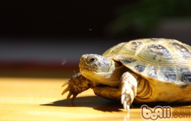 肠炎/防治方法:防治乌龟肠炎病,要预防为主,防重于治。