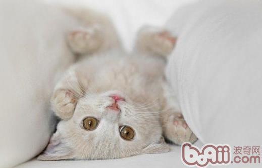 对于幼猫,除了寄生虫和传染病外,最令人头痛的问题还有皮肤病及腹部鼓胀。 今天我们就来讲讲关于幼猫皮肤病的问题。   许多养猫咪的新鲜人最痛恨就是皮肤病,因为易复发难断根,尤其不少爱猫人喜欢和猫咪共处一室,皮肤病人畜共通,令他们倍感压力。然而很无奈的,皮肤病会潜伏,刚购买的小猫咪,活泼可爱,全身毛绒绒的,你无法判定它是否有皮肤病,等症状发作时,主人只好自认倒霉。   皮肤病愈早发现,愈容易控制,尤其幼猫,千万不要拖到浑身皮屑、红肿、落毛才就医,此时为了急速控制病情,打针吃药,对内藏正在发育的幼猫,无疑是