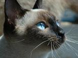 暹罗猫最老的猫种介绍