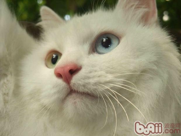 看看宠物猫的脸,不管是幼猫、成年猫还是老年猫,在嘴角两侧都长着长长的胡须。可不知道是什么原因,猫咪的胡子也有断的时候。胡子对猫咪的重要性不用在强调,可猫咪胡子老是断又是怎么回事呢?   有网友说,猫咪的胡子老是断,表示它身体营养不良,而且严重缺乏光照。猫咪的胡子断掉主要是因为血少了维生素B族,猫身体缺乏营养,体质也非常的脆弱,抵抗力低下。当然,要解决这种情况,加强平时的饮食管理还是最基本的。   还有网友说,如果猫咪在幼年、老年的时候断胡子,家长并不用太担心。因为这些都是猫本身生理成长会出现的情况。刚