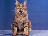 猫绝育后为什么还会发情