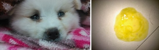 狗狗冠状是什么症状_狗狗冠状拉稀吃什么药_狗狗脑炎症状初期症状