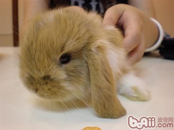 垂耳兔长得十分可爱,性格教胆小,耐寒怕热.
