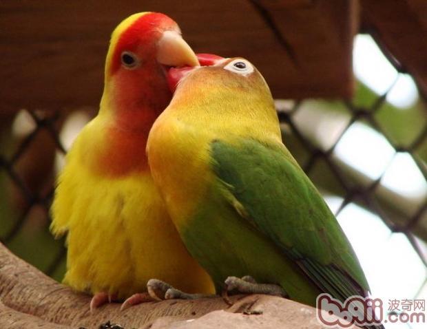 牡丹鹦鹉的公母怎么分辨图片