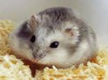 新养仓鼠的相处时间和办法