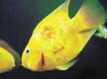 观赏鱼激光美容 变相涨价