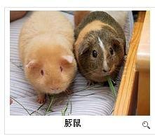 天竺鼠好养吗_因此有人喜欢将两者进行比较,仓鼠和豚鼠哪个比较好养?