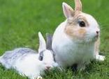 不要抓宠物兔的耳朵
