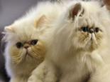 猫毛对猫咪的作用