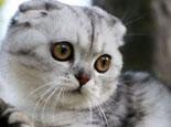 蘇格蘭折耳貓各種表情的含義