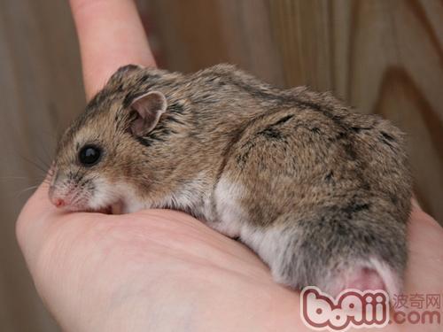 一, 外表   中国仓鼠的尾巴比我们一般常见熊或侏儒仓鼠都要长