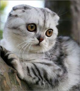 苏格兰折耳猫各种表情的含义图片