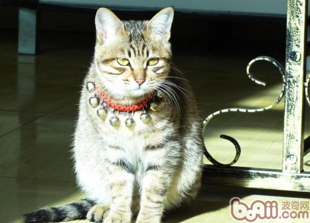 猫咪在舔舐自己皮毛时,容易将携带有绦虫卵的跳蚤食入或者是采食了