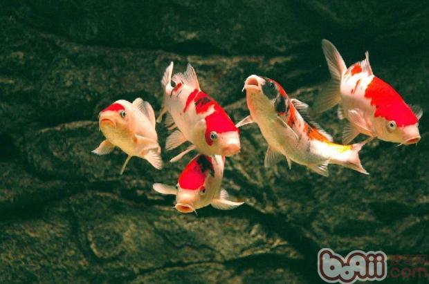通过人工驯化,使锦鲤在养殖池定点摄食,争抢食物.