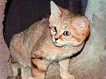 关于荒漠猫的基本常识