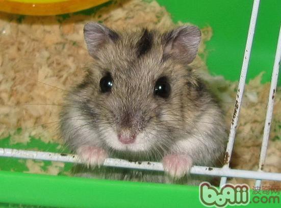 仓鼠宝宝的伪冬眠现象需谨慎
