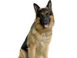 狼狗跟警犬并非同一个品种