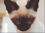 暹罗猫的眼部及耳部护理