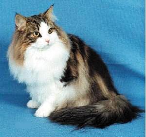挪威森林猫的毛发该怎么护理