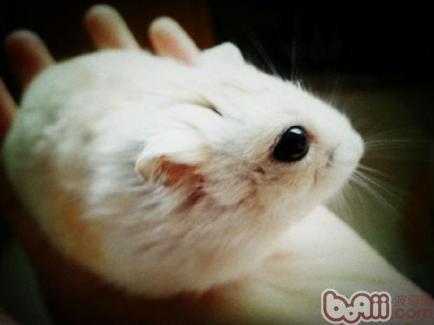 鼠鼠是啮齿类动物,所以他们的牙齿的这一特性几乎成了鼠鼠的代名词。可是大门牙虽然可爱,但也要注意平时的小心呵护哦,因为大门牙可是很容易断裂的呢~~   经常有因自我坠落或外物冲突等引起仓鼠的牙齿的折断,比如上面断了,下面那个长势会比其他的快。   此外,太多葵花子也容易缺钙,牙齿自然容易折。虽然折断的牙齿也容易长出来,但其结果是前牙变弯或向前突出来,那么就有可能因不能正常吃食而导致营养失调而死掉。因此应该多给含有丰富的钙的食物,比如鳀鱼、牛奶等。   饲养仓鼠用铁丝笼子时,仓鼠抓住铁丝向上攀登,会有跌落