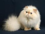喜马拉雅猫的遗传性疾病