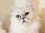 为猫咪洗耳的方法