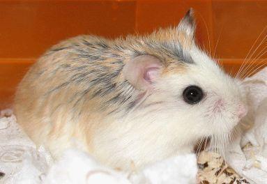 分类:脊柱动物门哺乳纲啮齿目仓鼠科.