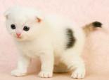 苏格兰折耳猫的遗传疾病
