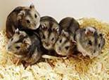 仓鼠繁殖最佳年龄