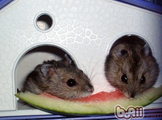 一到夏天西瓜算是人类的消暑圣品了,有很多家长会在自己吃的同时顺手就塞给自己的鼠鼠一点。可是这不是爱的表现哦,有时候这个小小的举动可是会害了鼠鼠的哦。那仓鼠到底能不能吃西瓜呢?   一、瓜瓤不能吃   众所周知,西瓜基本上可以说是水做的西瓜,红红的瓜瓤或者黄色的瓜瓤又甜汁水又多,人们吃的基本上就是这个部分。然而,瓜瓤部分由于甜度高、水分多,是不适合仓鼠食用的;如果食用了,则很容易引起腹泻。因此,这个部分还是主人来解决吧~   二、瓜皮可以吃   这里所谓的瓜皮,其实就是指瓜瓤吃完之后剩下的青皮部分,这